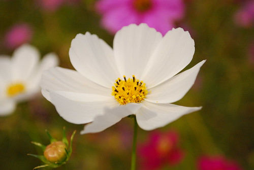 pretty white cosmos