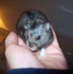 Kokusho (mylycanslove) Tags: hamster hamsters