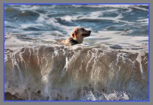 Surfing retriever