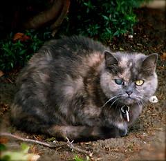 Cute cat (SCVHA) Tags: graycat