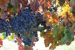 314/365: Nov 7, Harvest