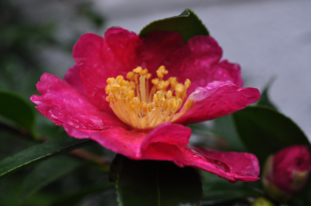 Camellia sasanqua 'Kanjiro' 1