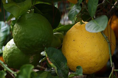 Ponderosa Lemons (Web)