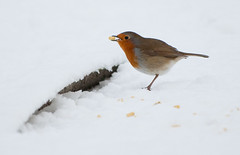 (tad2106) Tags: winter snow festive robinredbreast gardenbirds britishbirds robim christmasimage