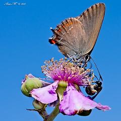 Face to face (Gonzalo y Ana Mara) Tags: anamara mariposa albacete nordmanniailicis letur canoneos40d querqueraserrana canonef100mmf28lmacroisusm gonzaloyanamara