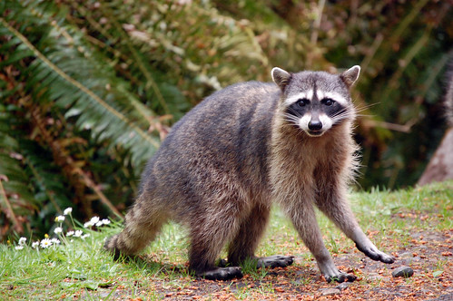 Raccoon in Point Defiance Park