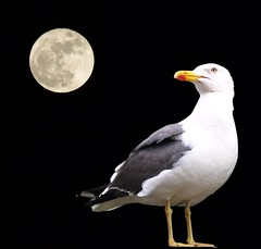 Staring at the moon (Ellinas_n*) Tags: moon white black night seagull gray full staring