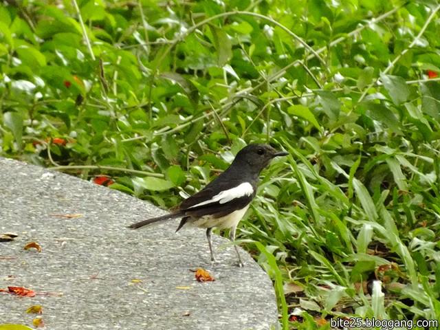 กางเขนบ้านตัวเมีย Female Oriental Magpie Robin
