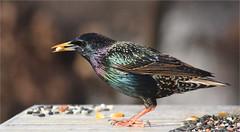 Wordless Twitter (ioensis) Tags: wordless twitter european starling bird webster groves mo missouri jdl ioensis winter plummage february 2017