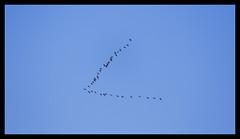 100D_MG_8079 (aestheticsofdailylife) Tags: stm is f456 55250mm efs sl1 rebel 100d eos canon flock aflockof geese flying vshape vformation bif efs55250mm