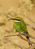 Swallow-tailed Bee-eater by Charlie O'Donoghue