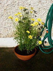Yellow daisies in the back garden
