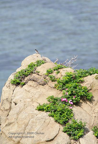 stonechat