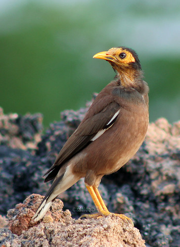 Old Common Myna