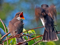Hey Mom, I'm Hungry (shelshots) Tags: nature birds wildlife fowls featheryfriday vosplusbellesphotos slbfeedingyoung slbbegging beyondbokeh