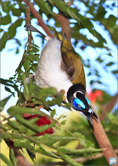 Blue-faced Honeyeater (David de Groot) Tags: bird canon au australia queensland bluefacedhoneyeater entomyzoncyanotis mackay canonef400mmf56lusm greenhillholiday 5dmkii bucascia