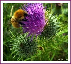 (celicom) Tags: naturaleza verde abeja cardo