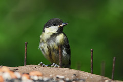 Juvenile Great Tit (Parus major) at RSPB Fairburn Ings (Steve Greaves) Tags: baby cute bird nature log bokeh wildlife young aves crest naturalhistory naturereserve birdtable juvenile greattit avian parusmajor rustynail greenback eastyorkshire rspb blackcap fledgeling fairburnings whitecheeks nikond300 17teleconverter globalbirdtrekkers yellowunderparts nikonafsii400mmf28ifedlens
