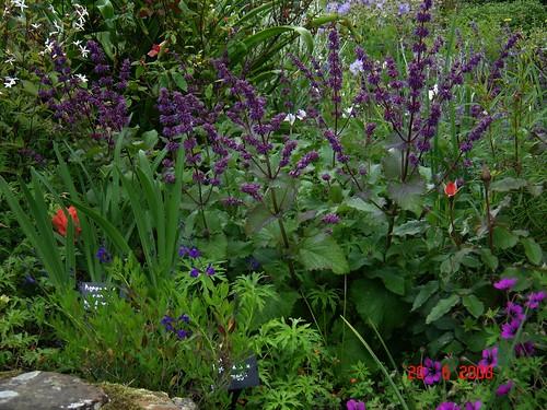Kranssalie 'Purple Rain'