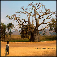 Congo Baobab, in Africa (Nicolas Diaz G) Tags: africa digital canon eos rebel photo republic child republik kind route nicolas afrika pointe criana congo enfant rpublique repblica baobab diaz kongo xsi afrique noire bambino brazzaville repubblica   republiek     pointenoire   congobrazzaville topseven  450d     dolisie  canoneos450d   giuffrida    canoneosdigitalrebelxsi eosdigitalrebelxsi     theauthorsplaza   nicolasdiazgiuffrida loubomo niari