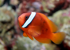 tomato clownfish, Amphiprion frenatus by brian.gratwicke, on Flickr
