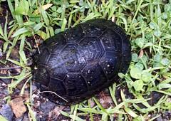 Turtle_8309