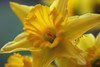 Daffodil close-up (IngeHG) Tags: flowers home yellow closeup spring thenetherlands stamens manual daffodils narrowdof nikond60 february09
