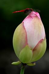 Inseguendo una libellula in un giardino zen (Xelisabetta) Tags: flower canon dragonfly kamakura  nippon fiore giappone libellula  eos400d xelisabetta elisabettagonzales