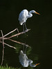 "Paradise Reflected (soccersc(Jim Allen)) Tags: bird beautiful birds wildlife charlestonsc interiordesign soe waders greategret herons egrets birdwatcher summervillesc ardeaalba 14kgold wildlifeart blueribbonwinner wildlifephotography bej fineartprints golddragon colorphotoaward platinumheartaward 100commentgroup dragondaggerphoto dragondaggeraward artofimages ""flickraward"" goldendiamondblog soccersc lakeashborough sailsevenseas sailsevenseasmaster mygearandme mygearandmepremium mygearandmebronze mygearandmesilver mygearandmegold mygearandmeplatinum mygearandmediamond naturallyjimallen"