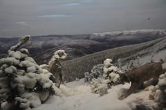 紐約自然歷史博物館中栩栩如生的標本展示,圖為北美山貓。
