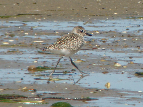 cutest plover sony copy
