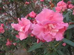 Oleander (poezia_aromatov) Tags: pink flowers oleander montenegro