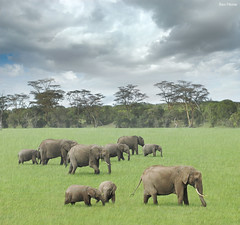 We Are Family (Ben Heine) Tags: africa park family famille wild sky motion hot green art texture nature grass clouds composition print children photo movement warm babies colours child nikond70 kenya walk horizon father flock mother meadow safari size together similar harmony environment elephants savannah prairie copyrights ensemble herd parc dynamism extinction marche offspring symbolism nationalgeographic ecosystem dfense zoology wearefamily bigfive wildanimals highres chaleur herbes gazon savane troupeau reservenaturelle benheine trompes thesuperbmasterpiece hubertlebizay hubzay saariysqualitypictures flickrunitedaward infotheartisterycom