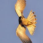 Kestrel (Falco tinnunculus) Explored 26th September 2009