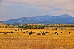 Autumn with the Bison Herd (Jeff Clow) Tags: autumn fall buffalo western wyoming bison herd grandtetonnationalpark jacksonholewyoming jeffrclow