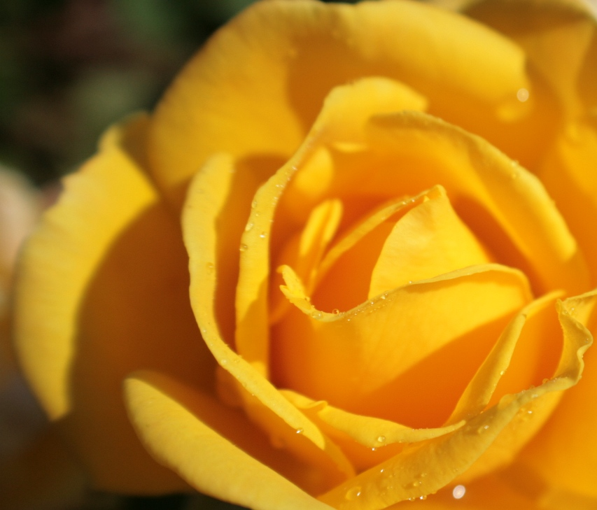 Favorite Yellow Rose