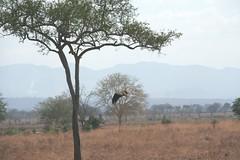 kingdom: Animalia. Martial Eagle attacking young Impala - 12 - Mikumi NP, Tanzania