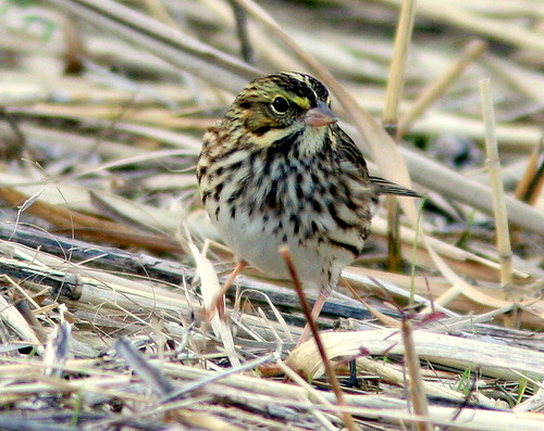 Savannah Sparrow at Brig 2-20091013