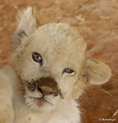 White Lion Cub (Martin_Heigan) Tags: camera wild portrait baby white cute nature digital naughty southafrica cub nikon king martin leo little wildlife small lion photograph d200 mischievous dslr bigcats panthera suidafrika 60mmf28micro nikonstunninggallery specanimal heigan leeu 70300mmf4556gvr welpie mhsetwildlife vosplusbellesphotos 25october2009 mheigangallery mheiganselects mhgallery1