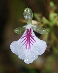 Elettaria cardamomum (Zingiberaceae)