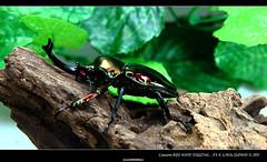 澳洲 彩虹鍬 (我一定會成功) Tags: 寵物 獨角仙 甲蟲 鍬形蟲