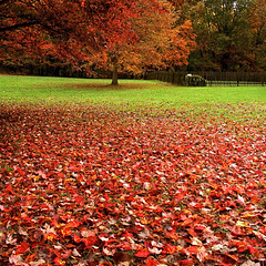 Annie's Yard (Baab1) Tags: autumn trees yards fallleaves green fall grass nikon fences maryland autumnleaves brightcolors neighbors brilliantcolors d300 southernmaryland redds calvertcountymaryland 1755nikkor colorphotoaward autumnrains huntingtownmaryland lowermarlboromaryland beautifullawns fallrains greensbeautifullawns