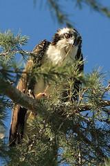 IMG_6821 (Bonnie Manevich) Tags: osprey eatsfish