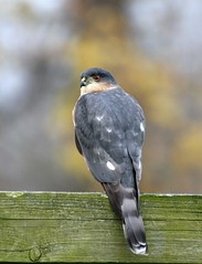 Sharp-shinned Hawk (mattlev12) Tags: