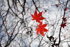 Nature is a poetess (christiaan_25) Tags: autumn red sky nature leaf maple poetry poem haiku bokeh branches dream japanesemaple delicate twigs acerpalmatum intricate irohamomiji