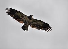 Watching us from above (the tЯefts) Tags: nikon baldeagle manitoba northdakota sawyer tamron lakewinnipeg d90 heclaisland redynamix d90club 18270mm