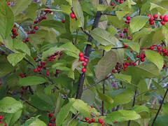 Common Winterberry (treegrow) Tags: plant nature washingtondc cultivated ilexverticillata angiosperms lifeonearth aquifoliaceae canonpowershotsx10is aquifoliales commonwinterberry taxonomy:binomial=ilexverticillata