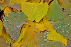 Ginko Leaves (scorpion (13)) Tags: autumn color leaves rain season zoo walk visit today greatphoto bellissima abigfave worldbest theunforgettablepictures