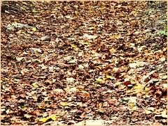 Tapis de feuilles (Pantchoa) Tags: saintebaume plandaups provence var forêt couleurs automne massif randonnée promenade tapis feuilles couleursdautomne france paysage coloré pantchoa françoisdenodrest