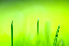 Green. Yellow. Lime. (.I Travel East.) Tags: life light green beauty grass yellow backyard lime nikkor lux lucio nikkor105mmf28vr d700 nikond700 greenyellowlime